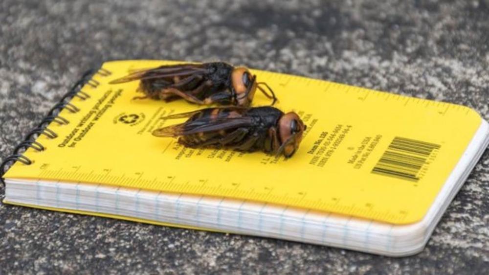 Cientistas alertam para 'vespas assassinas' vistas pela 1ª vez nos EUA