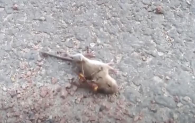 EUA: vídeo chocante mostra vespa 'assassina' matando rato em apenas 1 min