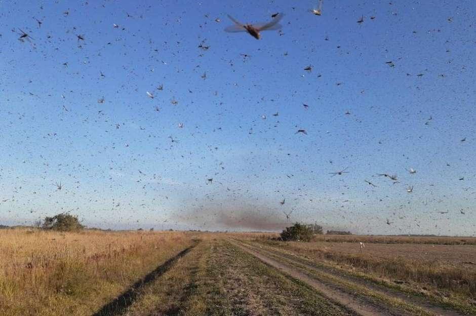 Autoridades do governo da Argentina informaram que uma nuvem de gafanhotos levantou voo na província de Corrientes e pode atravessar a fronteira com o Rio Grande do Sul. Foto: Reprodução / Estadão Conteúdo